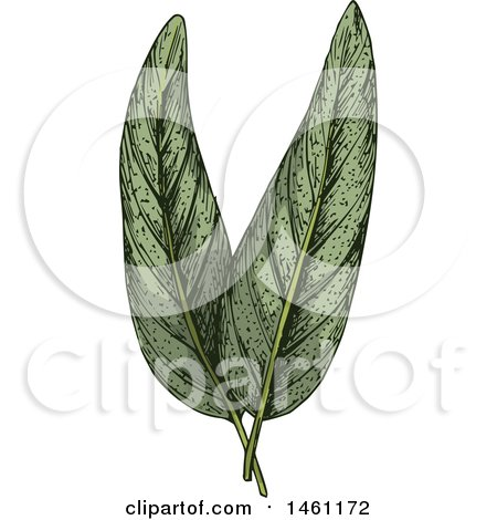 Clipart of Sketched Sage Leaves - Royalty Free Vector Illustration by Vector Tradition SM
