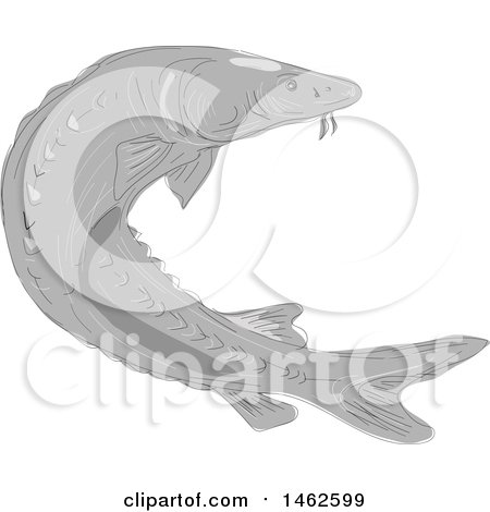 Clipart of a Grayscale Lake Sturgeon Fish, in Drawing Sketch Style - Royalty Free Vector Illustration by patrimonio