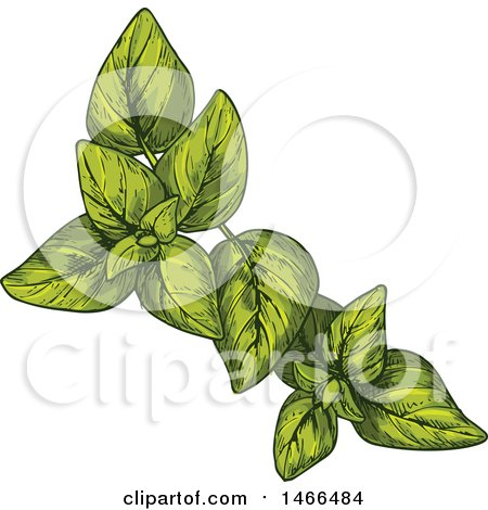 Clipart of a Sketched Herb, Oregano - Royalty Free Vector Illustration by Vector Tradition SM
