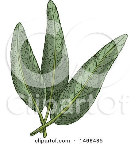 Clipart of a Sketched Herb, Sage Leaves - Royalty Free Vector Illustration by Vector Tradition SM