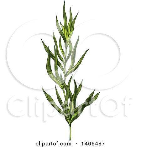 Clipart of a Sketched Herb, Tarragon - Royalty Free Vector Illustration by Vector Tradition SM