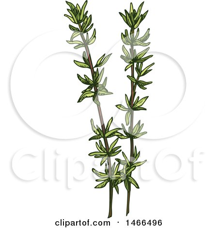 Clipart of a Sketched Herb, Thyme - Royalty Free Vector Illustration by Vector Tradition SM