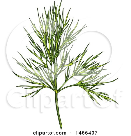 Clipart of a Sketched Herb, Dill - Royalty Free Vector Illustration by Vector Tradition SM