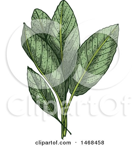 Clipart of a Sketched Herb, Sage - Royalty Free Vector Illustration by Vector Tradition SM