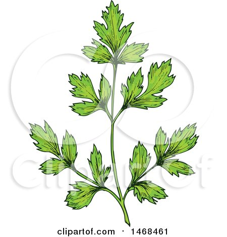 Clipart of a Sketched Herb, Parsley - Royalty Free Vector Illustration by Vector Tradition SM