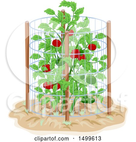 Tomato Plant Drawing