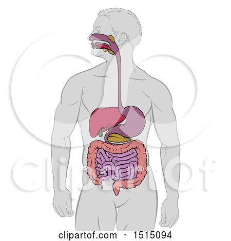 Clipart of a Medical Diagram of a Man with Visible Digestive Tract - Royalty Free Vector Illustration by AtStockIllustration