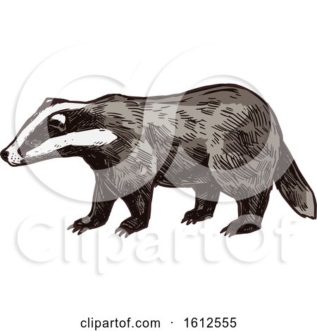 Clipart of a Sketched Honey Badger - Royalty Free Vector Illustration by Vector Tradition SM
