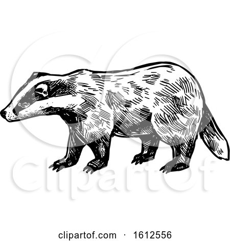 Clipart of a Sketched Black and White Honey Badger - Royalty Free Vector Illustration by Vector Tradition SM
