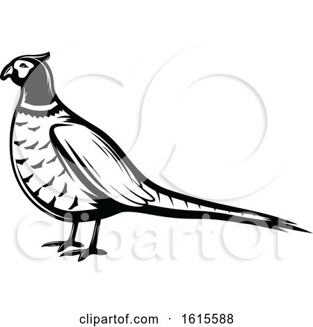 Clipart of a Black and White Pheasant Bird - Royalty Free Vector Illustration by Vector Tradition SM