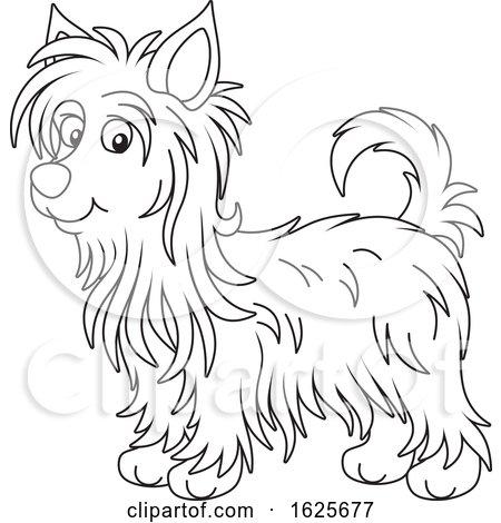 Black and White Australian Silky Terrier Dog by Alex Bannykh