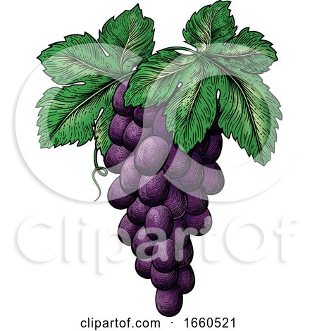 Bunch of Grapes on Vine with Leaves by AtStockIllustration