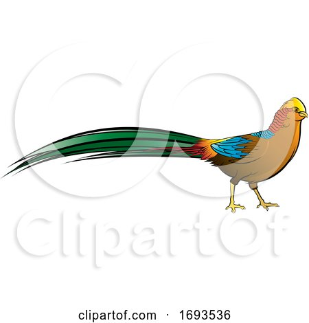 Golden Pheasant Bird by Lal Perera