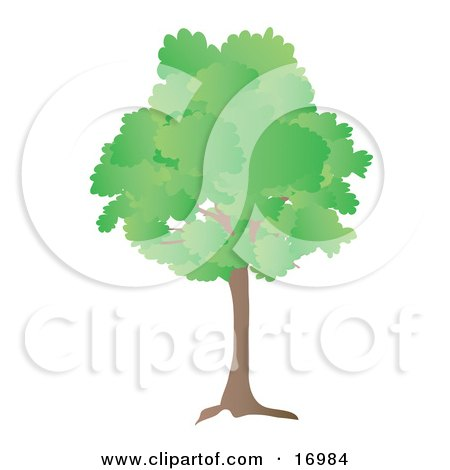 Oak Tree With Green Spring Or Summer Foliage Leaves Clipart Illustration by Rasmussen Images