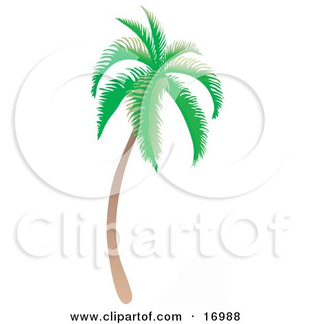 Coconut Palm Tree With Green Foliage, Curving Slightly And Leaning Towards The Right Clipart Illustration by Rasmussen Images