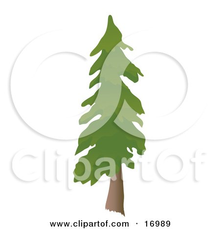 Tall Evergreen Pine Tree Clipart Illustration by Rasmussen Images