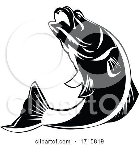 Barramundi Fish Jumping up Isolated Black and White Retro by patrimonio