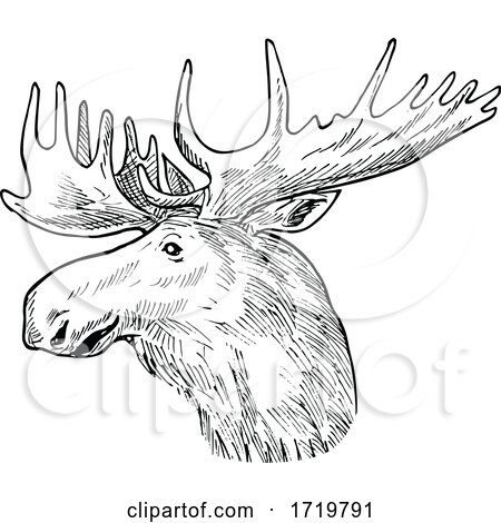 Head of a Bull Moose or Elk Alces Alces Scratchboard Retro Black and White by patrimonio