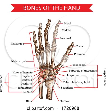Bones of the Hand Posters, Art Prints