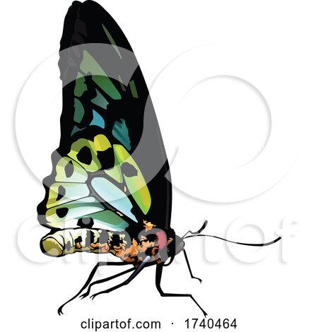 Ornithoptera Richmondia Butterfly by dero