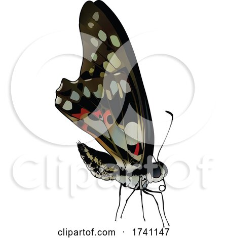 Graphium Doson Common Jay Butterfly by dero