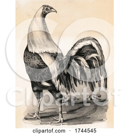 Historical Image of a Fighting Cock Rooster by JVPD