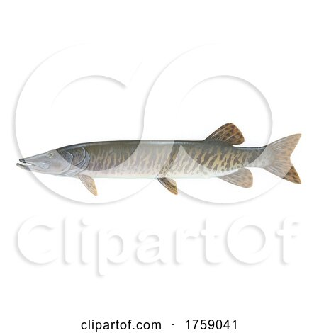 Muskellunge, Muskie, Musky Fish on a White Background by JVPD