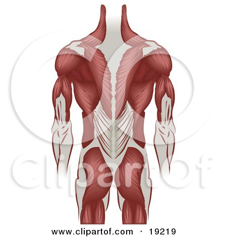 Clipart Illustration of Ligaments And Muscle Of A Grown Man's Back Including The Back Of The Arms And Legs by AtStockIllustration