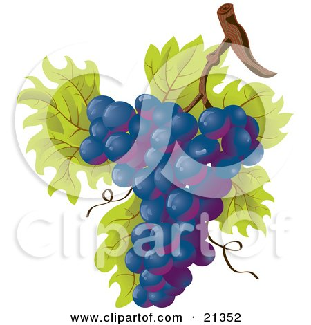 Clipart Illustration of a Bunch Of Purple Grapes Growing On The Vine With Green Leaves And Twines by Paulo Resende