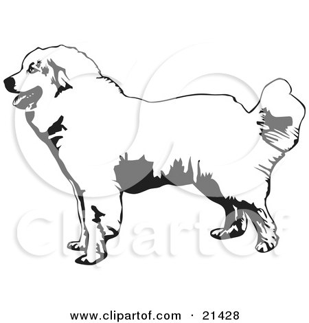Clipart Illustration of a Friendly Great Pyrenees Mountain Dog In Profile, Facing To The Left, On A White Background by David Rey