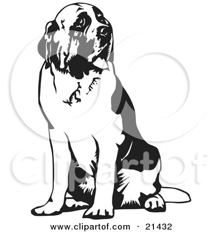 Clipart Illustration of a Large St Bernard Dog Spanting And Sitting, Looking Off To The Right, On A White Background by David Rey