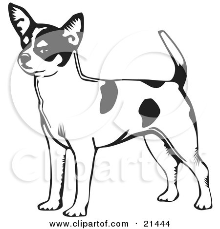 Clipart Illustration of an Alert Short Haired Chihuahua Dog With A Spotted Coat, Holding His Tail Up And Facing Left, On A White Background by David Rey