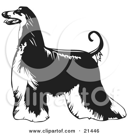 Clipart Illustration of a Long Haired Afghan Hound Dog Standing Proudly In Profile, Facing To Left, Over A White Background by David Rey