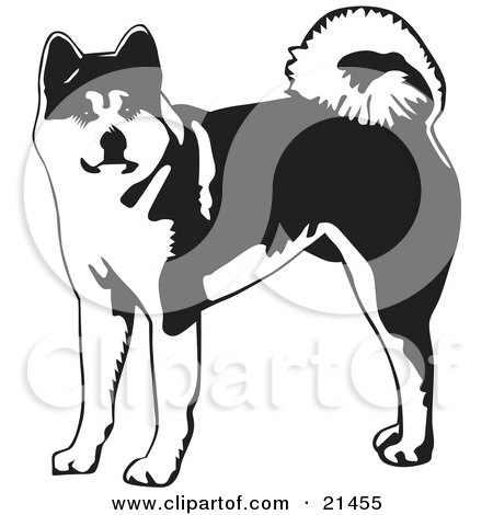 Clipart Illustration of an Alert Akita Dog With A Curled Tail, Looking At The Viewer by David Rey
