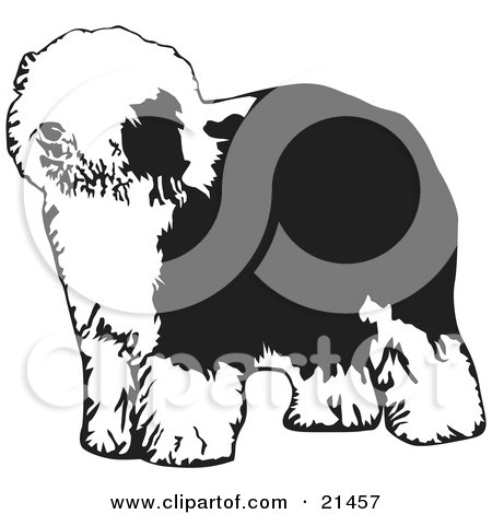 Clipart Illustration of a Hairy Dulux Or Old English Sheepdog Standing And Facing Left, On A White Background by David Rey
