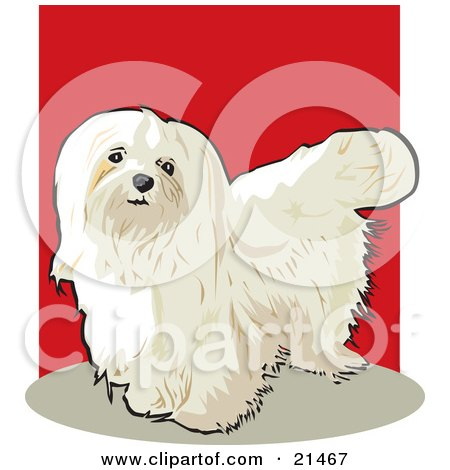 Clipart Illustration of a Long Haired White Maltese Show Dog Looking Upwards by David Rey