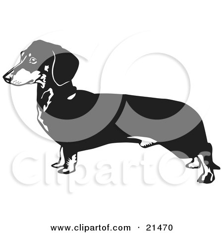 Clipart Illustration of a Long Dachshund, Doxie, Dackel, Or Teckel Dog On A White Background by David Rey