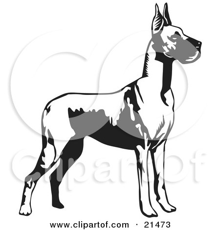 Clipart Illustration of a Great Dane Dog With Cropped Ears, Standing Alert And Facing Right, Over A White Background by David Rey