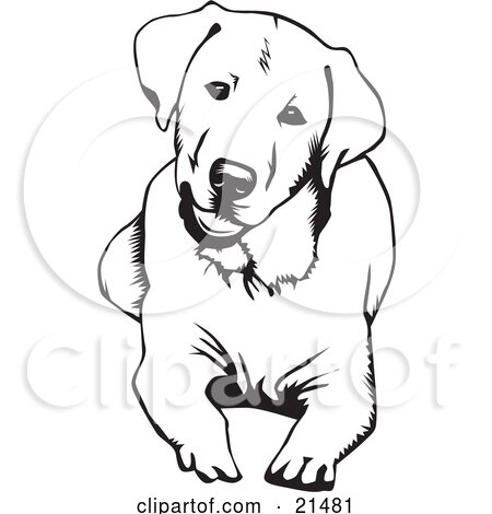 Clipart Illustration of a Cute And Curious Labrador Retriever Dog Lying Down And Tilting His Head, On A White Background by David Rey