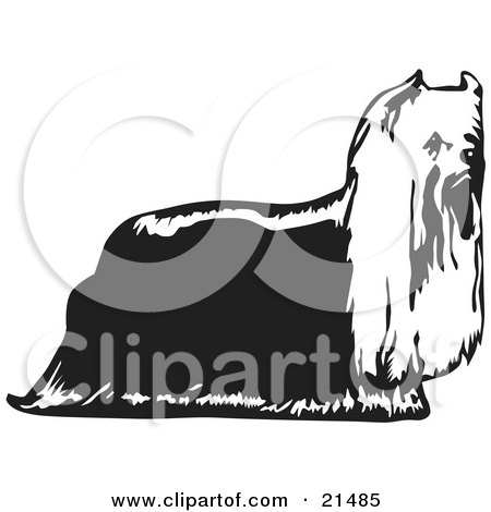 Clipart Illustration of a Hairy Yorkie Yorkshire Terrier Dog In Profile, Facing Right, On A White Background by David Rey