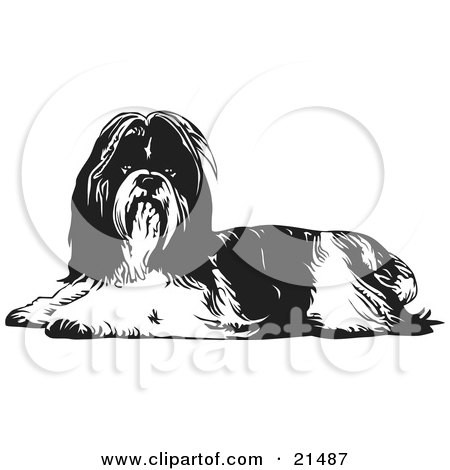Clipart Illustration of a Long Haired Shih Tzu Dog Lying Down And Looking At The Viewer, On A White Background by David Rey