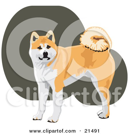 Clipart Illustration of an Alert Tan And White Akita Dog With A Curly Tail, Looking At The Viewer by David Rey