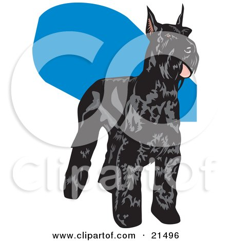 Clipart Illustration of a Black Schnauzer Dog With A Shiny Coat, Standing And Facing Right by David Rey