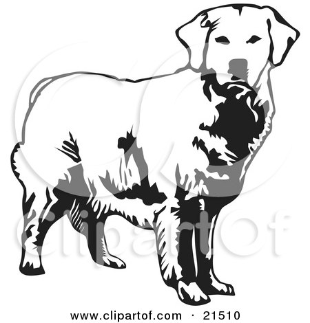Clipart Illustration of an Alert Golden Retriever Dog Looking Forward, Over A White Background by David Rey