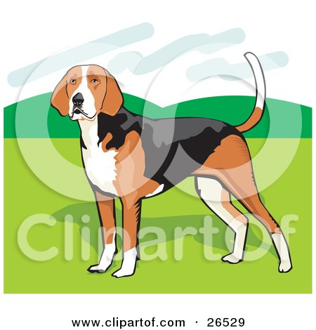 Clipart Illustration of a Brown, White And Black American Foxhound Dog Standing On Grass by David Rey