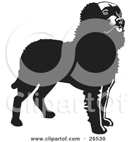 Clipart Illustration of an Alert American Water Spaniel Dog Standing, Black And White by David Rey