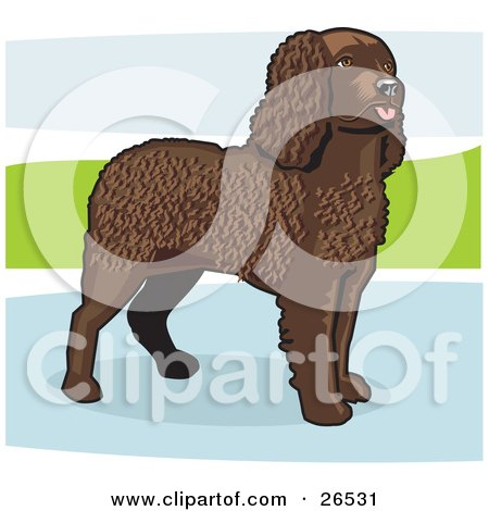 Clipart Illustration of an Alert, Brown, Curly Haired American Water Spaniel Dog Standing In A Puddle by David Rey