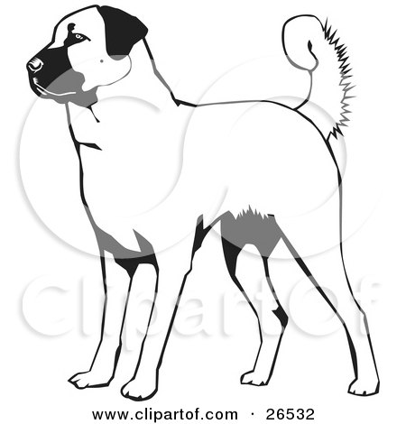 White Flower on An Alert Anatolian Shepherd Dog  Black And White By David Rey  26532