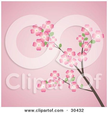 Beautiful Picture Nature on Flowering Dogwood Tree Branch With Pink Flowers  Over A Pink