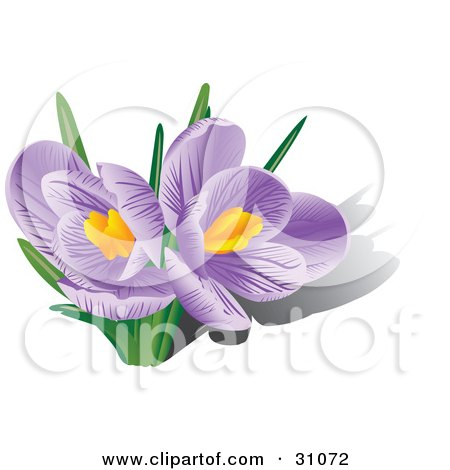 Clipart Illustration of Two Blooming Purple Crocus Flowers With Orange Stamens by Eugene
